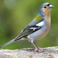 בחרו ציפור וגלו פרטים על אישיותכם: דרור