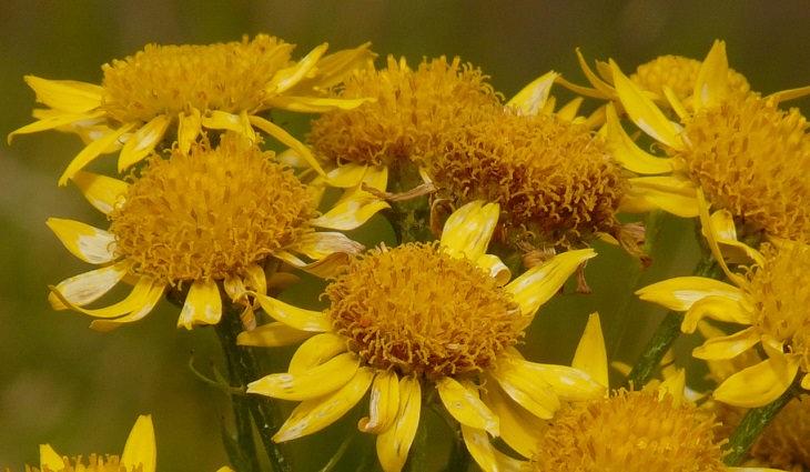 שיטות טבעיות לטיפול בכאב שרירים: צמח הארניקה