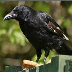 בחרו ציפור וגלו פרטים על אישיותכם: עורב