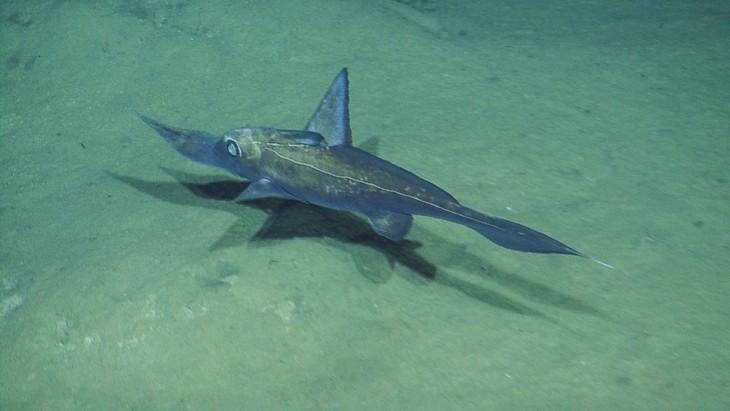 יצורים ממעמקי הים: דג כימרה ארוך אף