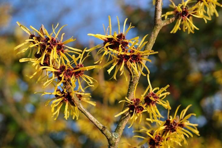 מניעת הזעת יתר בצורה טבעית: צמח הממליס