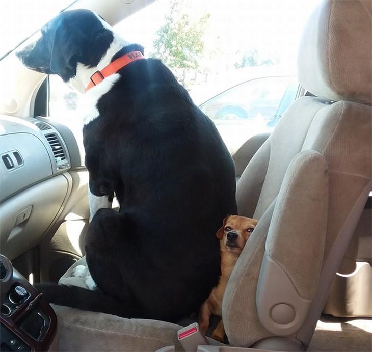 חיות חמודות שיעשו לכם את היום: כלב גדול יושב על כלב קטן במושב הקדמי של האוטו