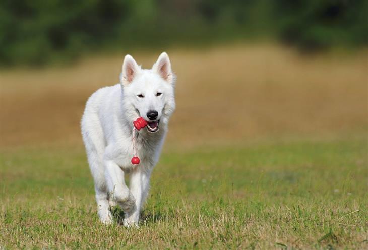 מחלות שחיות המחמד יכולות להעביר אלינו: כלב רץ על דשא עם צעצוע בפה