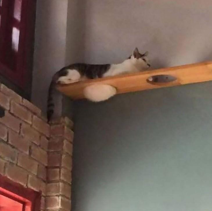 תמונות מצחיקות של חתולים: חתול שוכב על קרש עץ עם הבטן מבצבצת מאחד החורים שבו