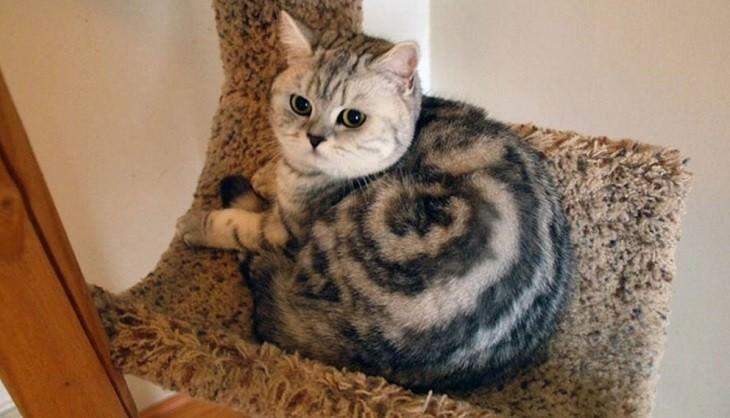 תמונות מצחיקות של חתולים: חתול עם פיתול מעוצב על הפרווה שלו