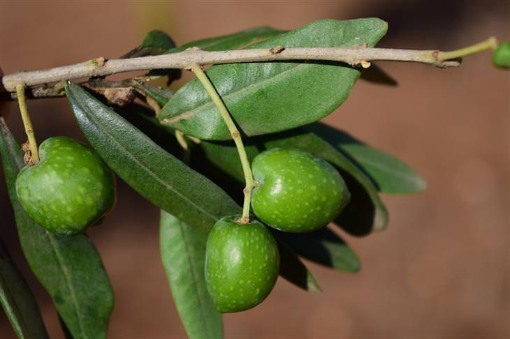 יתרונות בריאותיים של זיתים: זיתים על ענף