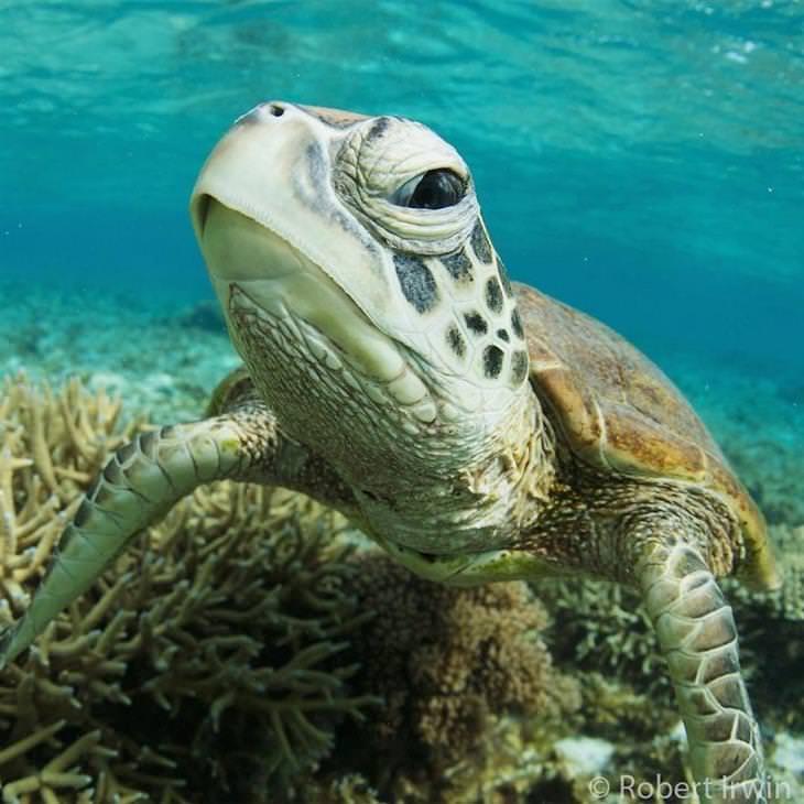 תמונות טבע של רוברט ארווין: צב ים