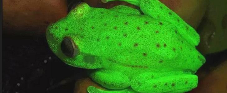 תגליות מדעיות של שנת 2017: צפרדע זוהרת בצבע ירוק