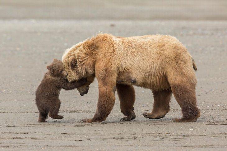 תמונות טבע: גור של דב חום משחק עם אימו באלסקה