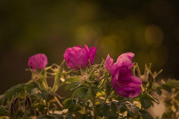 צמחים לגידול בסתיו: ורדים