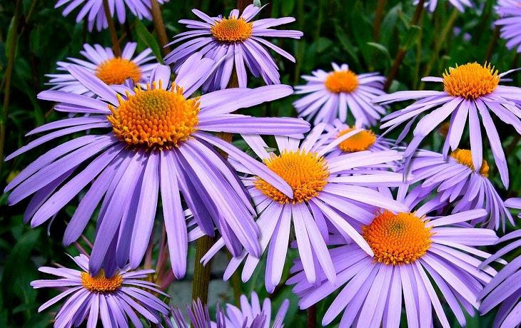 צמחים לגידול בסתיו: אסטר