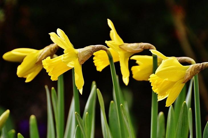 צמחים לגידול בסתיו: נרקיסים