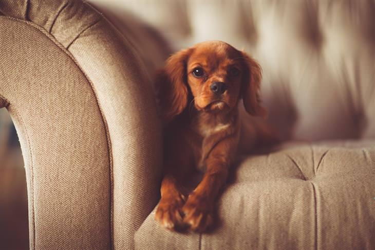סימנים שהכלב שלכם רואה בכם כמנהיגי הלהקה: כלב יושב על ספה