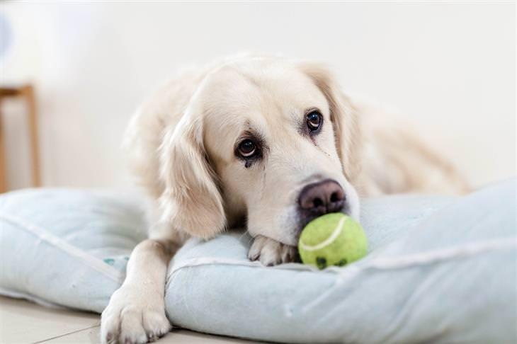 סימנים שהכלב שלכם רואה בכם כמנהיגי הלהקה: כלב שוכב על מזרן ונראה מדוכדך