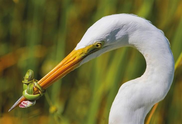 תמונות מתחרות צילום הציפורים של הקרן הבריטית לצפרות: נחש ירוק עוטף מקור של לבנית גדולה