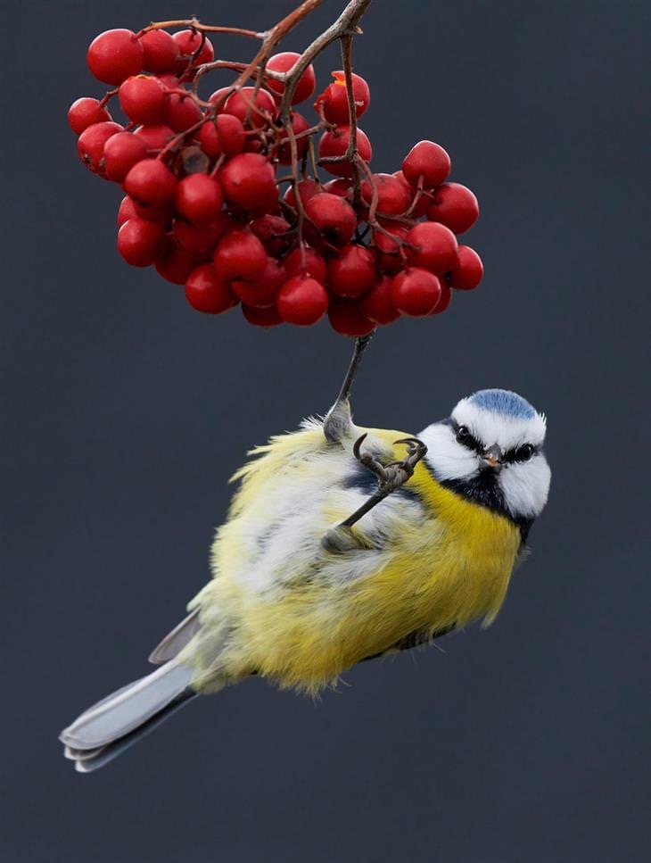 תמונות מתחרות צילום הציפורים של הקרן הבריטית לצפרות: ירגזי כחול אירואסייתי נתלה על פירות יער
