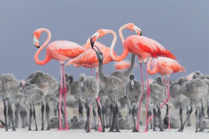 תמונות מתחרות צילום הציפורים של הקרן הבריטית לצפרות: פלמינגו וורודים וצאציהם האפורים