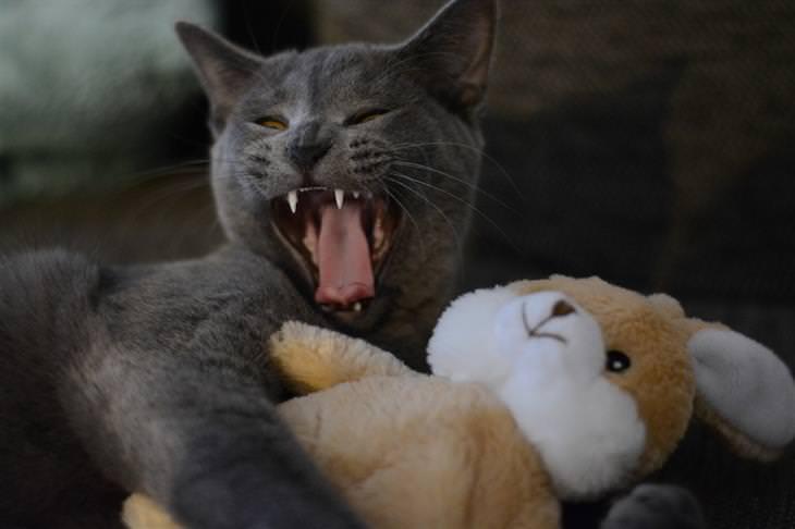 סוגי אישיות של חתולים: חתול מחבק בובה וחושף את שיניו