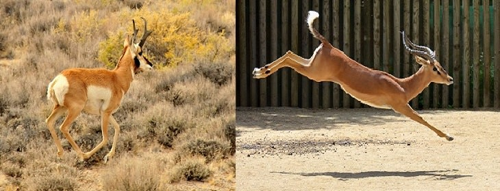 בעלי החיים המהירים בעולם: דלגן ואנטילוקפרה
