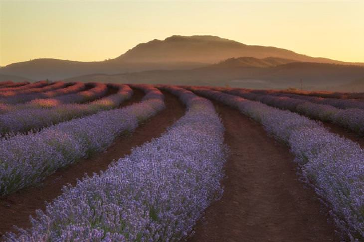 צמד צלמים מתעד את העולם: שדות לבנדר בטסמניה, אוסטרליה