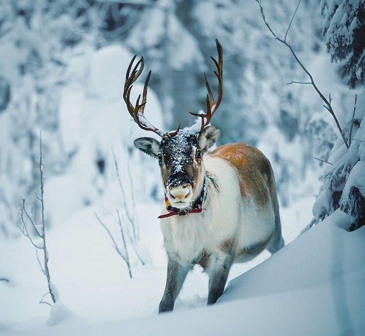 צילומי חיות ביער פיני מושלג: אייל
