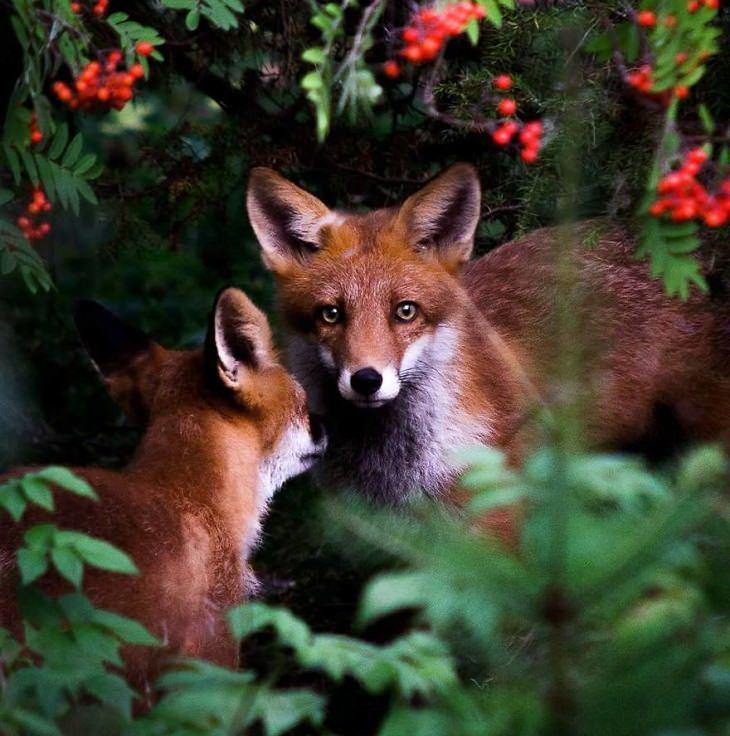 צילומי חיות ביער פיני מושלג: שועלים