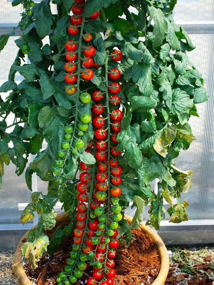 תמונות אוכל מיוחדות ומושלמות: שיח עגבניות