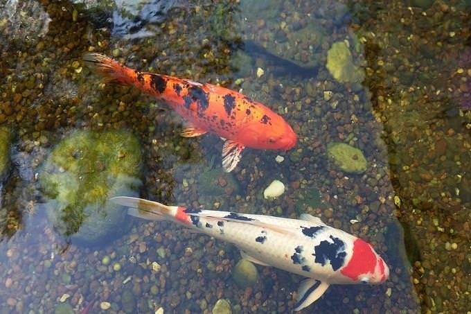 מבחן אישיות: דגי קוי בבריכה