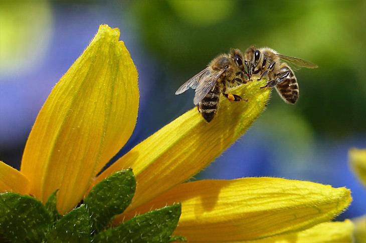 ההבדל בין דבש רגיל לגולמי: שתי דבורים על עלה של פרח צהוב