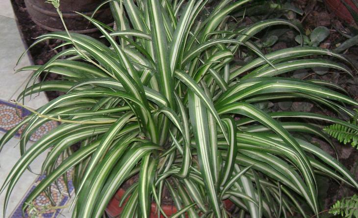 צמחים לגידול בכל אחד מחדרי הבית: ירקה