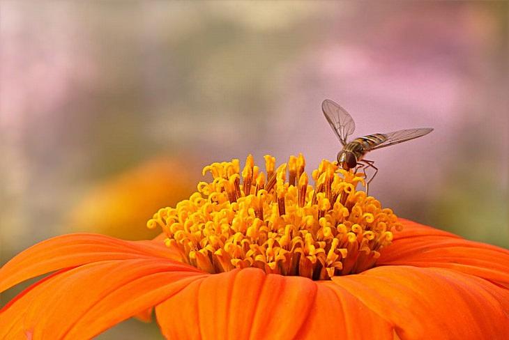 ההבדל בין דבש רגיל לגולמי: דבורה עומדת על בסיס של פרח כתום
