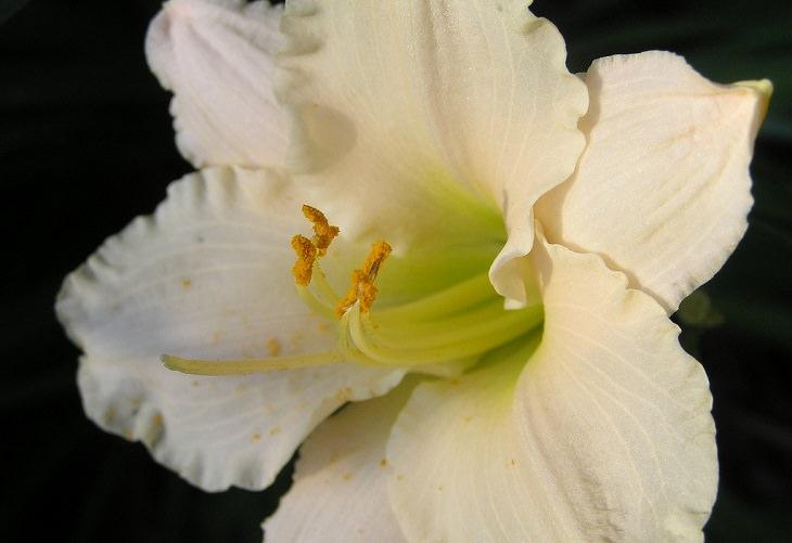 יתרונות בריאותיים של וניל: פרח וניל