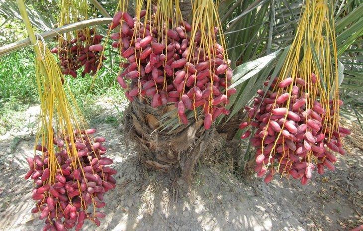 פירות וירקות בשדה: אשכולות תמרים בשלים