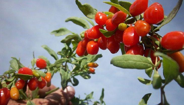 יתרונותיו של פרי הגוג'י ברי: פירות גוג'י ברי