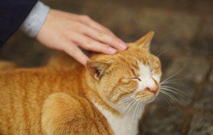 מחקר על חתולים: תחול ג'ינג'י נהנה מליטוף