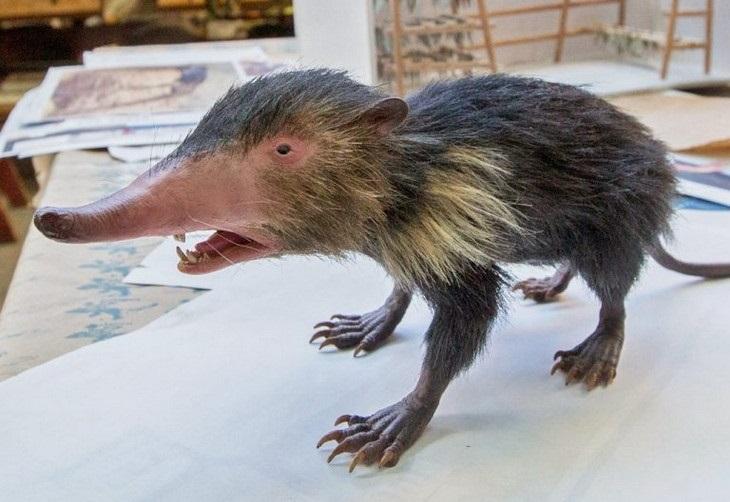 חיות מוזרות: סולנודון קובני