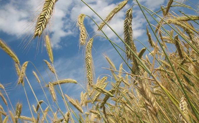 חידון מילים לועזיות בעברית: גבעולי חיטה בשדה