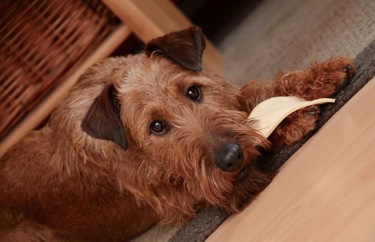 סימנים שהכלב שלכם חכם: כלב שוכב ואוכל