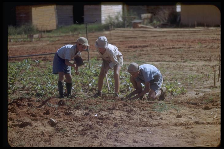 """ישראל בשנת 1950: ילדים עובדים בשדות של מרכז הקליטה """"עליית הנוער"""" ליד כרכור"""