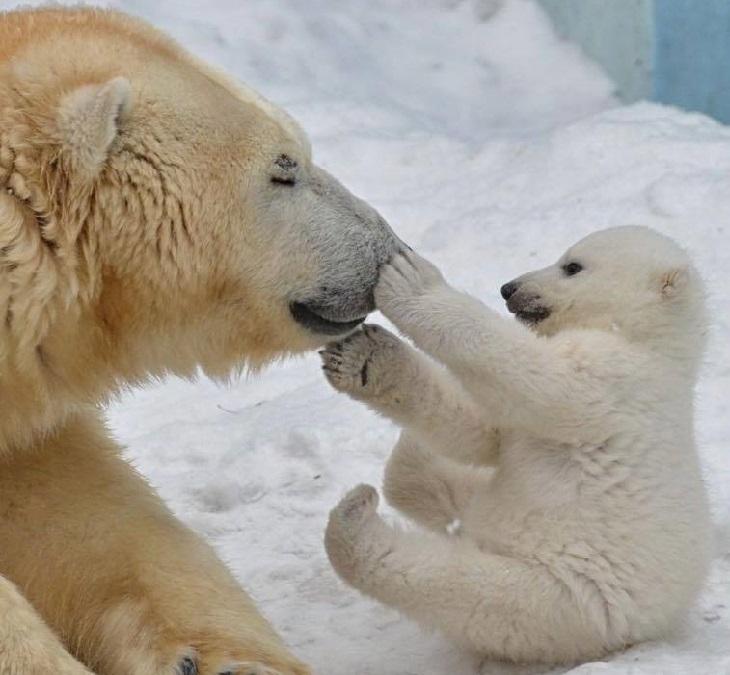 חיות חמודות בחורף: דובה וגור דובים משחקים