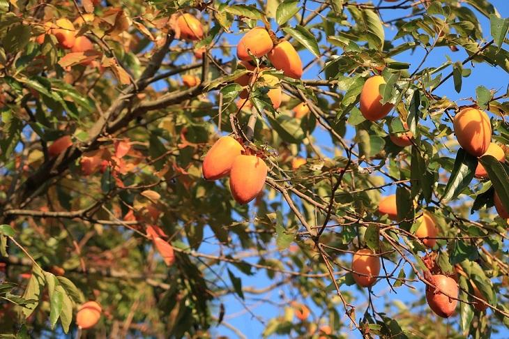 יתרונות בריאותיים באפרסמון: אפרסמונים על עץ עם עלים ירוקים