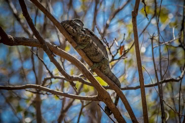 מדגסקר: זיקית נאחזת בענף