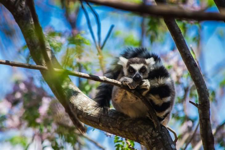 מדגסקר: למור זנב-טבעת
