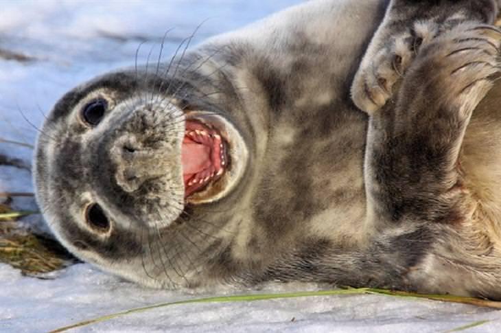 תמונות של חיות פוטוגניות: אריה ים מחייך אל המצלמה