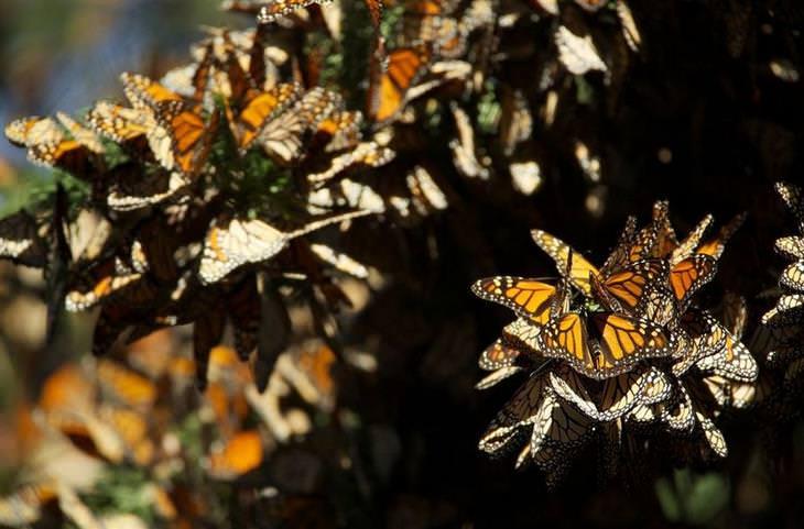תופעות טבע צבעוניות: פרפרי מונרך – דנאית מלכותית