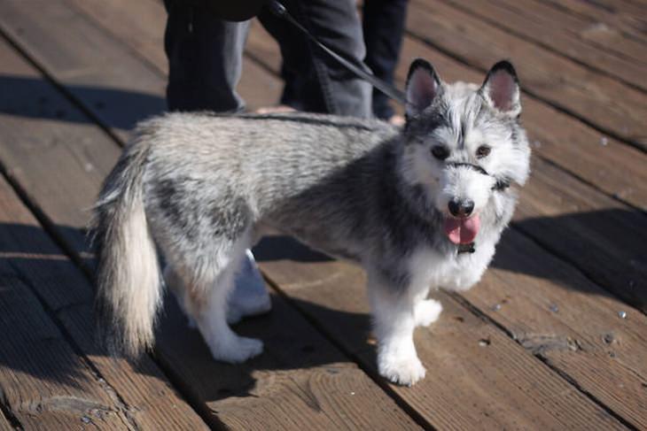 שילובי גזעי כלבים שונים עם קורגי: קורגי + האסקי סיבירי