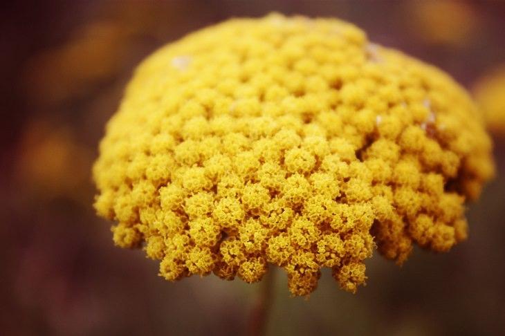 יתרונות בריאותיים של חרדל: פרח חרדל בפריחתו