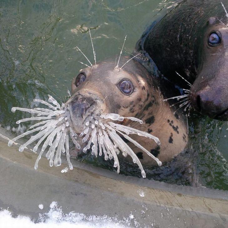 חיות חמודות שיפתיעו אתכם: כלב ים עם שפם קפוא לחלוטין