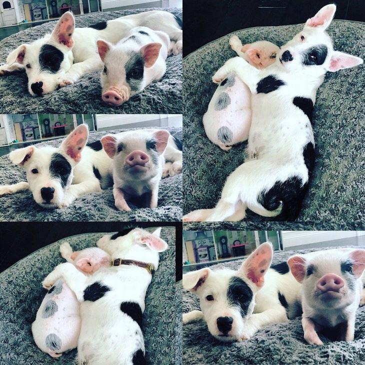 חיות חמודות שיפתיעו אתכם: כלב וחזיר עם כתמים זהים על הגוף