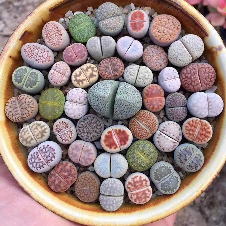 שלמות טבעית מדהימה: בצמחים סוקולנטים מסוג ליתפוס